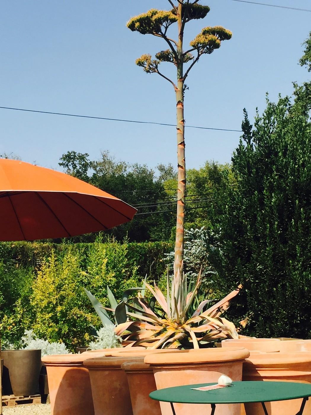 Agave Plant at The Gardener in Healdsburg